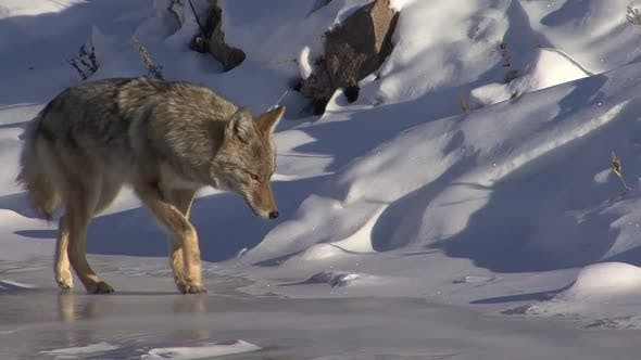 Thumbnail for Coyote Adult Lone Walking Moving in Winter in South Dakota