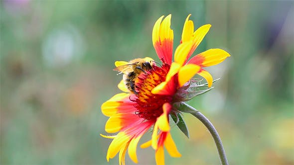 Thumbnail for Bumblebee.