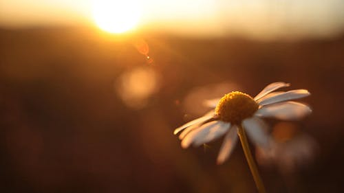 Daisy in the Sunset