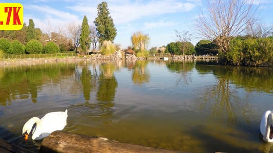Cover Image for Swan and Green Lake in the Park