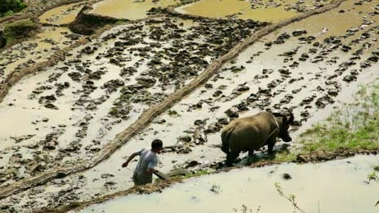 Thumbnail for Farming Plowing Ox, No Tractor, Farm Vietnam 3