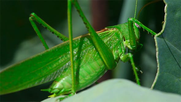 Grüne Heuschrecke