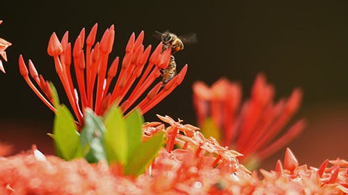 Bee and Ixora 02