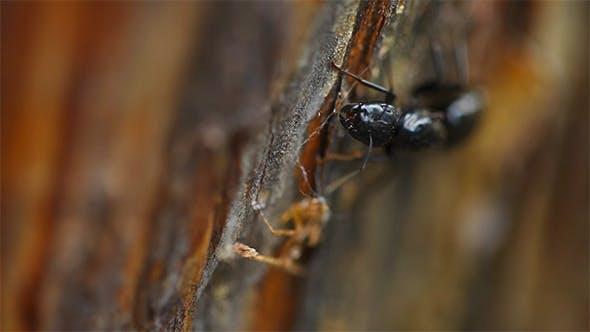 Thumbnail for Black Ant