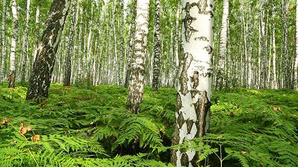 Thumbnail for Summer Birch Forest