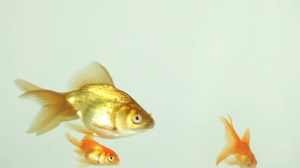 Thumbnail for Goldfish Swimming, Eating