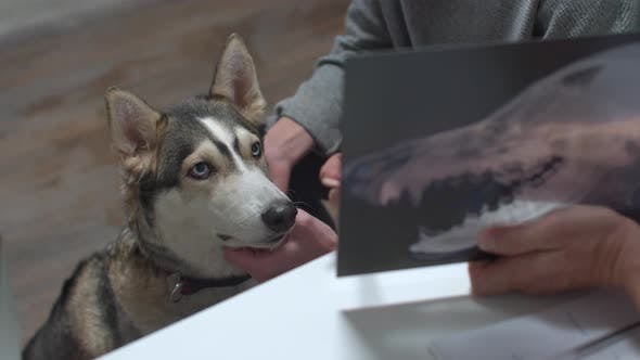 Husky Looks at X-ray That Vet Shows