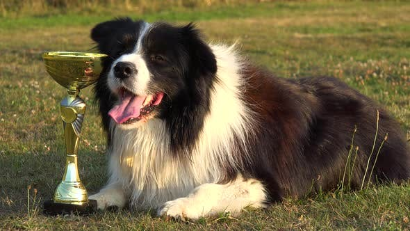 Thumbnail for A Border Collie Lies Next To a Golden Trophy in a Meadow in a Forest - Closeup