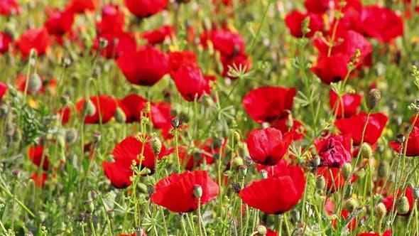 Thumbnail for Red Poppy Flowers