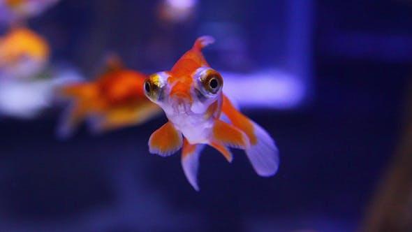 Thumbnail for Telescope Goldfish In Aquarium