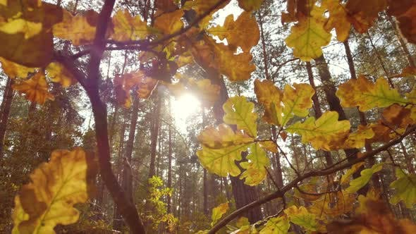 Beautiful Autumn Golden Oak Leaves in Sunlight