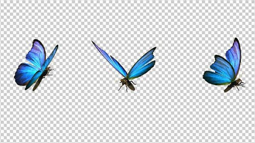 Flying Butterfly - Blue Swallowtail - Transparent Loop