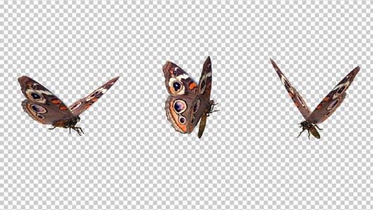 Thumbnail for Flying Butterfly - American Buckeye