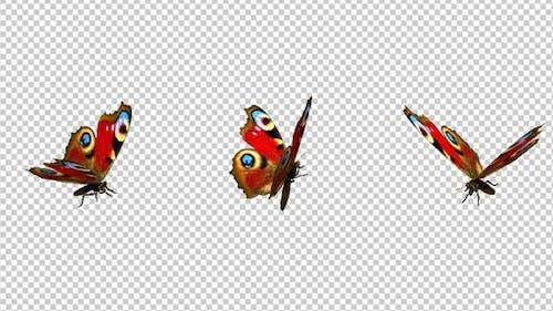 Flying Butterfly - Eurasian Peacock