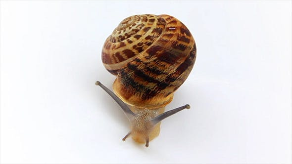 Thumbnail for Snail Moving On White