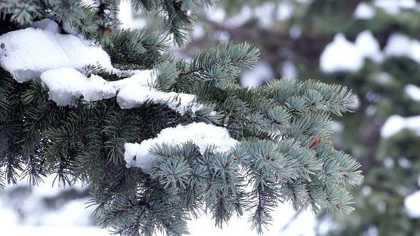 Thumbnail for Fur-Tree Branch with Snow
