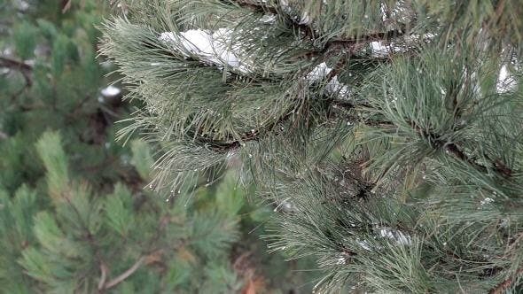 Thumbnail for Pine Branch with Melting Snow