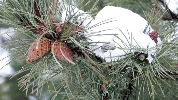 Thumbnail for Pine Branch with Cones and Melting Snow