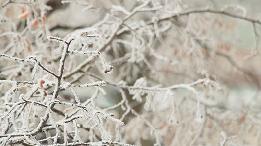 Thumbnail for Snow on a Branch
