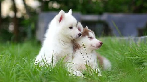 Close Up Siberian Husky Puppies Sitting And Lying On Green Grass