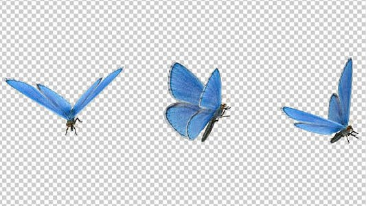 Flying Butterfly - Blue Adonis