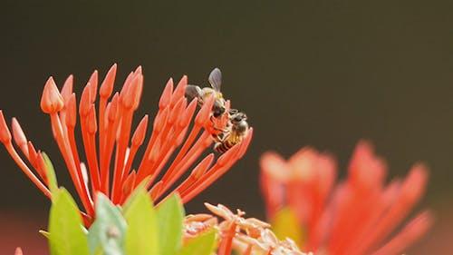 Bee and Ixora 03
