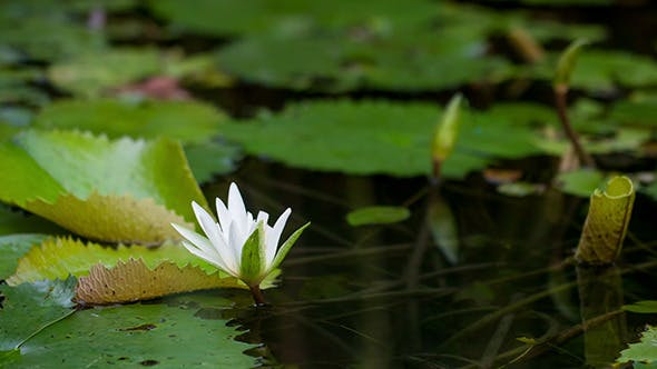 Thumbnail for Water Lily Blooming
