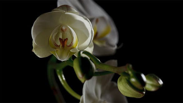 Thumbnail for Time-lapse Of White Orchid Opening