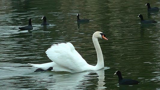Thumbnail for Swan Floating on the Lake 2