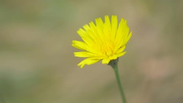 Thumbnail for Dandelion flower outdoor shallow DOF 4K 2160p UHD footage - Yellow dandelion flower 4K 3840X2160 UHD