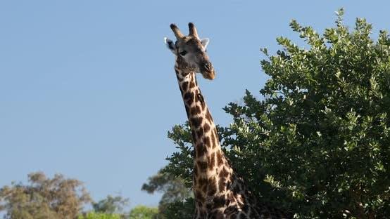 Thumbnail for South African giraffe, Africa wildlife safari