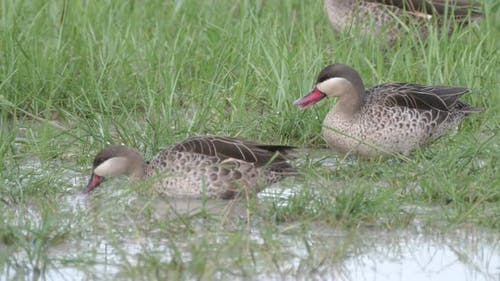 Red Billed Teal Ducks in Chobe National Park
