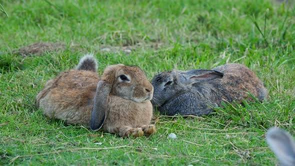 Thumbnail for Paar Fuffy Kaninchen liegend auf Rasen.