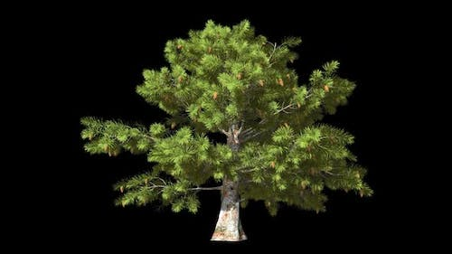 Isolated Conifer Tree