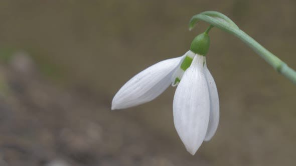 Elegant  snowdrop  flower in the garden shallow DOF  4K 2160p UHD natural footage - Galanthus nivali
