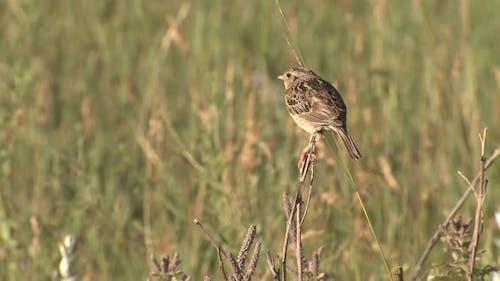 Grasshopper Sparrow Bird Perched on Twig in Great Plains Prairie Grassland