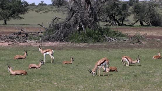 herd of Springbok in kalahari, South Africa wildlife