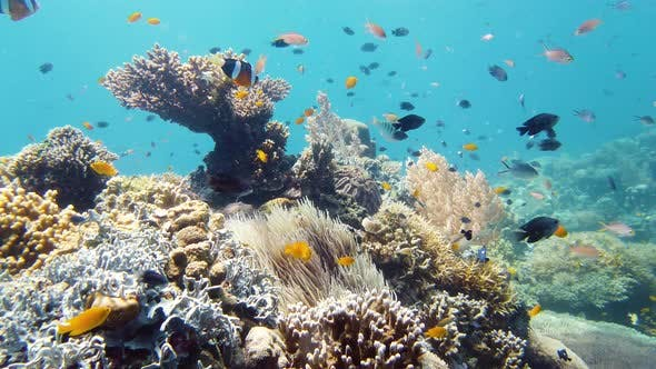 Thumbnail for Coral Reef and Tropical Fish Underwater. Leyte, Philippines.