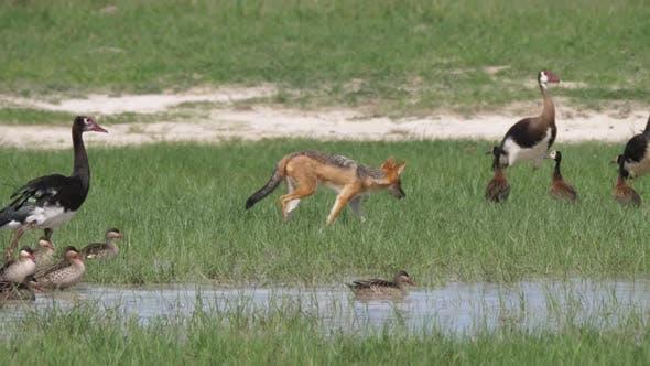 Cover Image for Black-backed jackal walking around White-faced whistling ducks