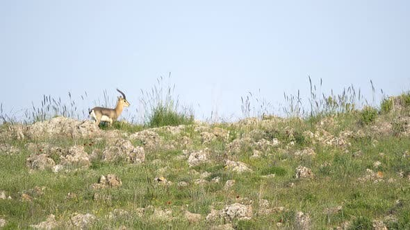 Thumbnail for Male Horned Gazelle