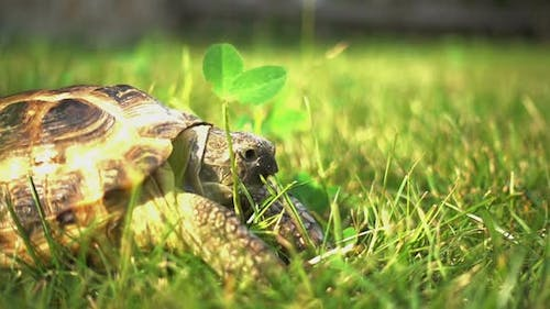 Turtle on the Green Grass