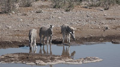 Zebras drink water in the pond. Africa. Namibia.