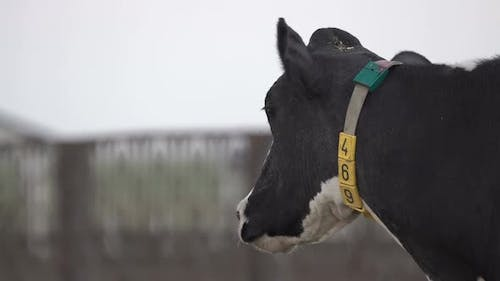 Black and White Cow's Head with a Fly on It with Digital Collar on the Neck