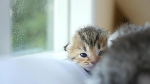 Nahaufnahme des schottischen Kätzchens