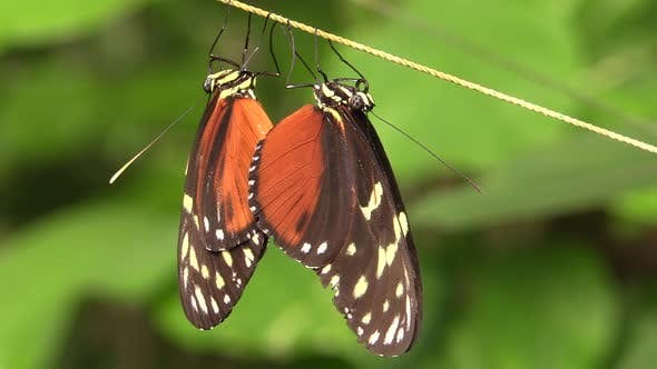 Thumbnail for Hecale Longwing Adult Pair Breeding Reproduction in Costa Rica
