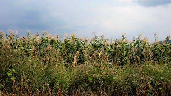 Thumbnail for Corn Field 0
