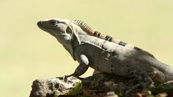 Thumbnail for Iguana Mexico Wildlife 1