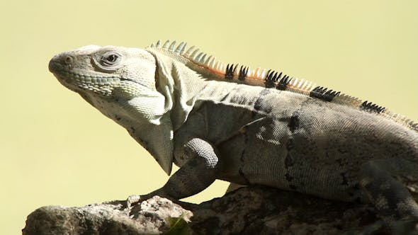 Thumbnail for Iguana Mexico Wildlife 2