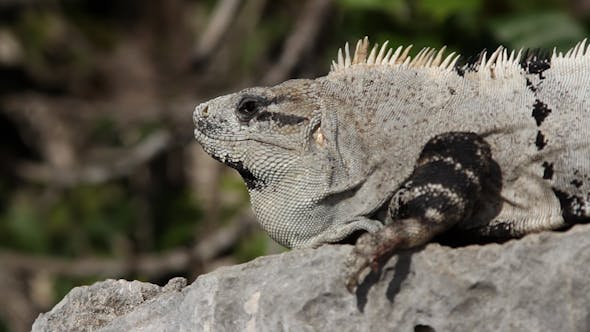 Thumbnail for Iguana Mexico Wildlife 20