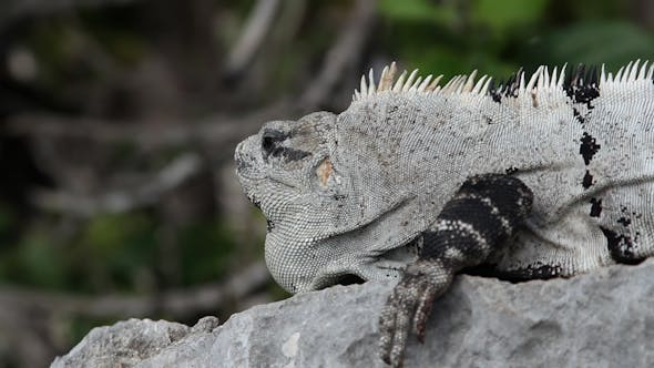 Thumbnail for Iguana Mexico Wildlife 22